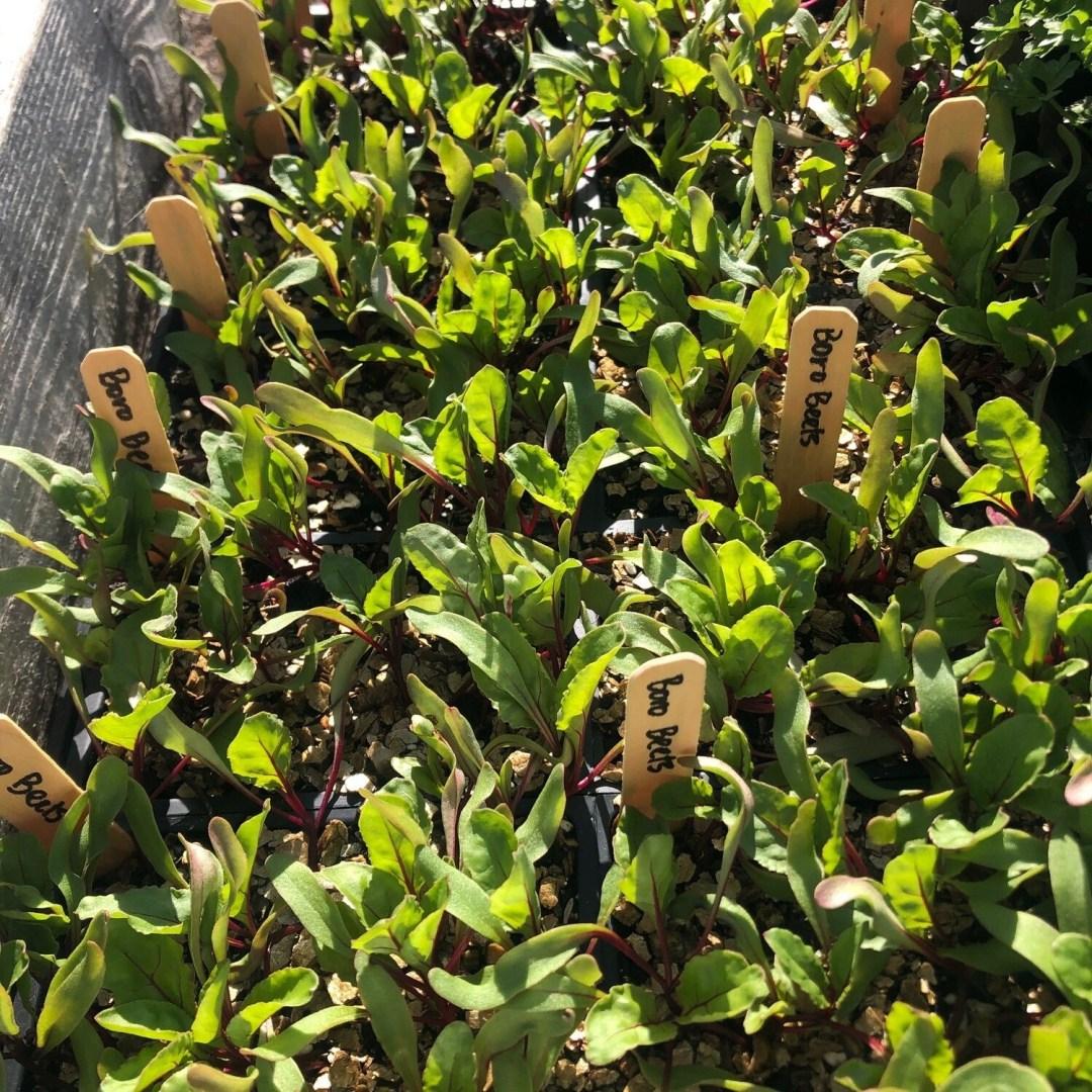 SGF Plant Starts - Boro Beets 6 Pk