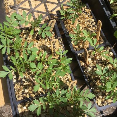 SGF Plant Starts - Queen Sofia Marigold 6 Pk