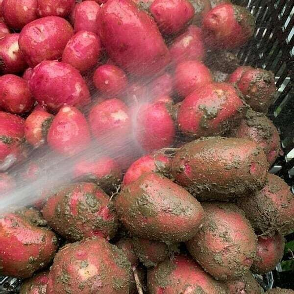 Potatoes, New - Pint ** Simple Gifts Farm