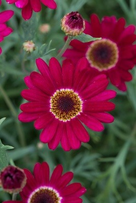 Argyranthemum Madeira Single Red