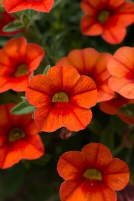 Calibrachoa Can-Can Orange Punch