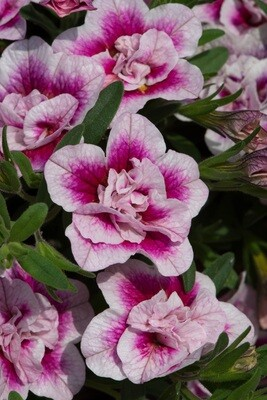 Calibrachoa Can-Can Double PinkTastic
