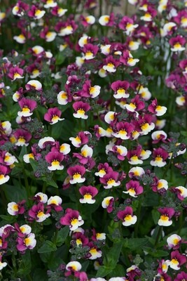 Nemesia Sundae Raspberry Cream AVAILABLE FROM APRIL