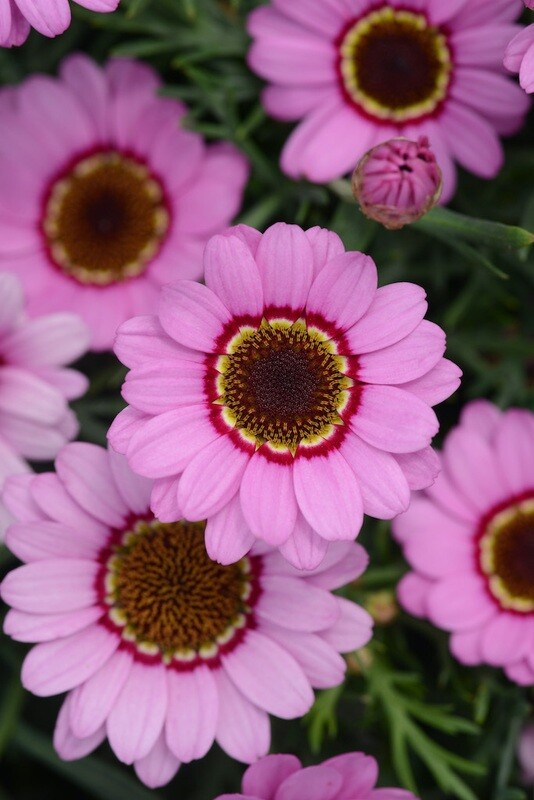 Argyranthemum Grandaisy Pink Halo