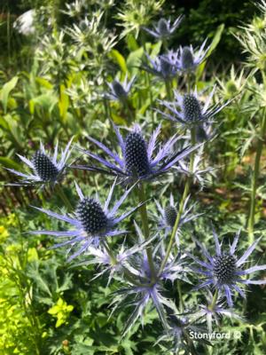 Eryngium x zabelii 'Big Blue' (sea holly)