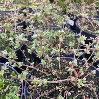 Potentilla fruticosa 'Primrose Beauty'