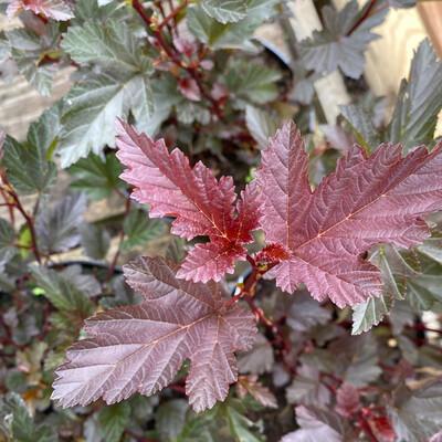 Physocarpus All Red
