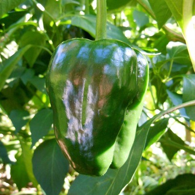 Ancho Large Mexican Chile Seeds