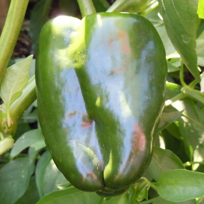 Ancho San Luis Chile Seeds