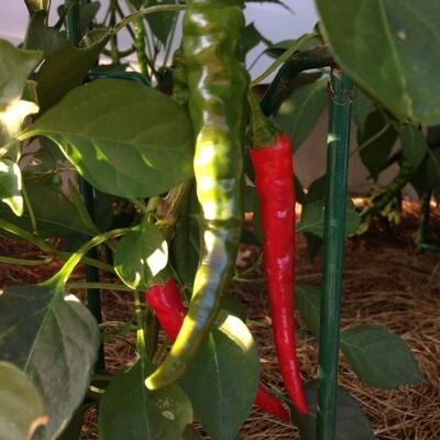 Cayenne Slim Pepper Seeds