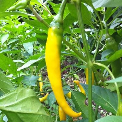 Cayenne Pepper, Golden - Seeds