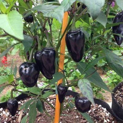 Czechoslovakian Black Chile Seeds