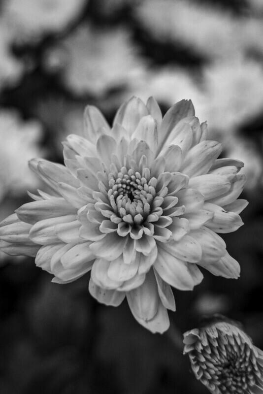 Black & White Blossoming Flower
