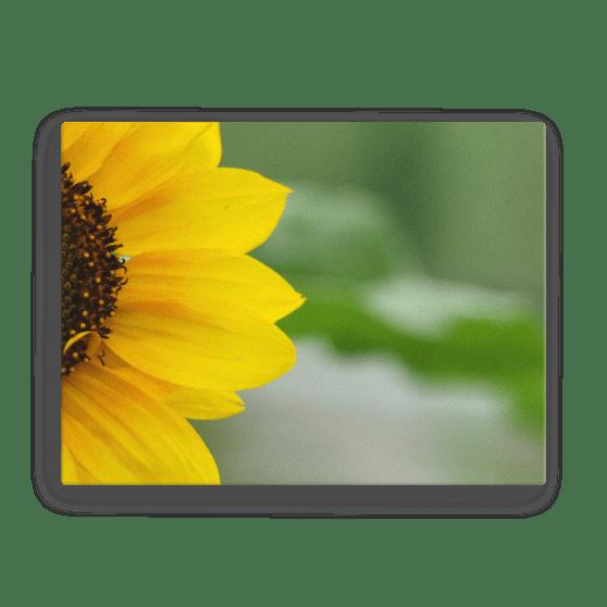 Sunflower Fine Art Poster