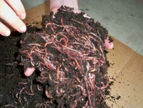 1 lb. Red Worms