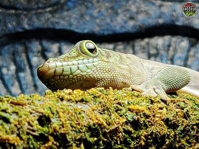 CBB Standings Day Geckos