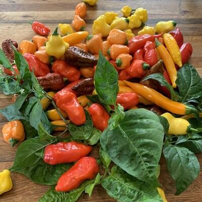 Fresh Hot Peppers