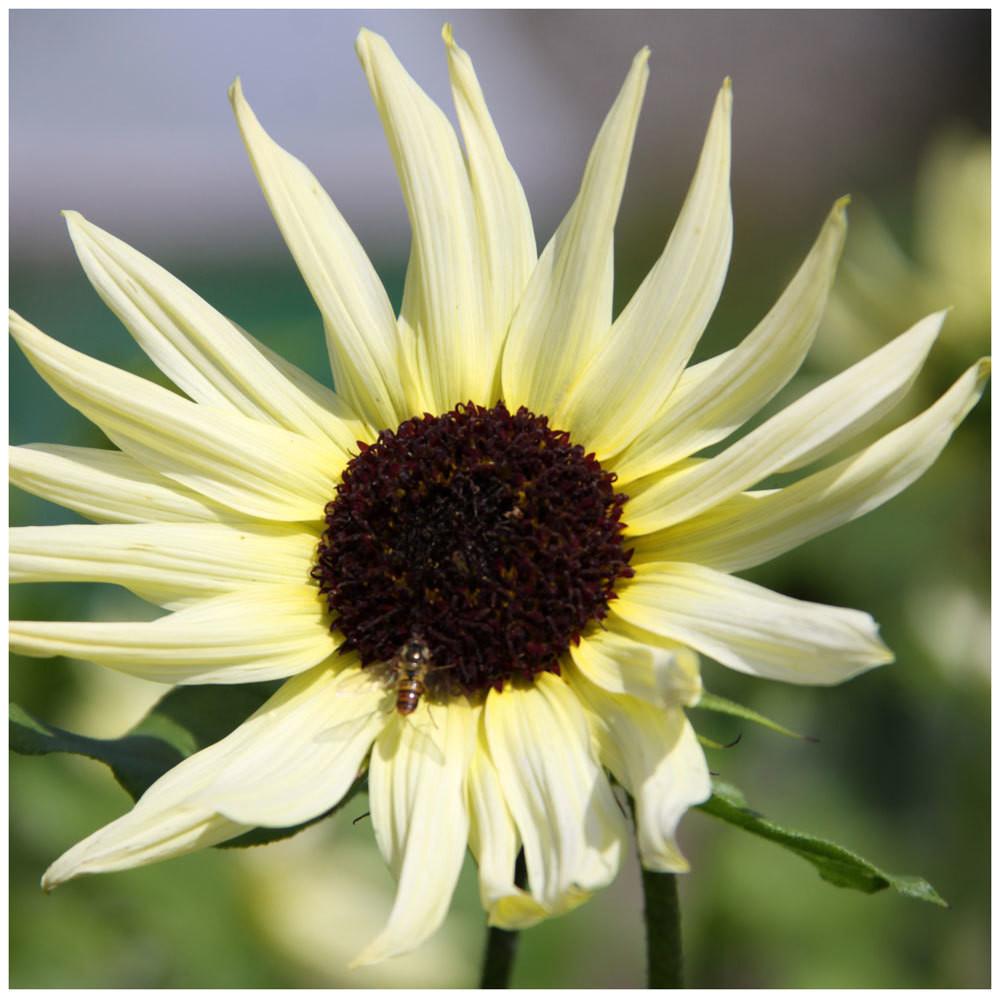 Best Sunflowers for Wildlife