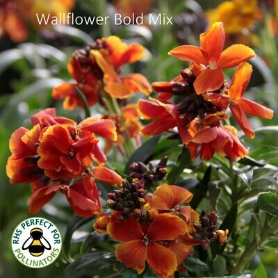 Bold Wallflower Mix