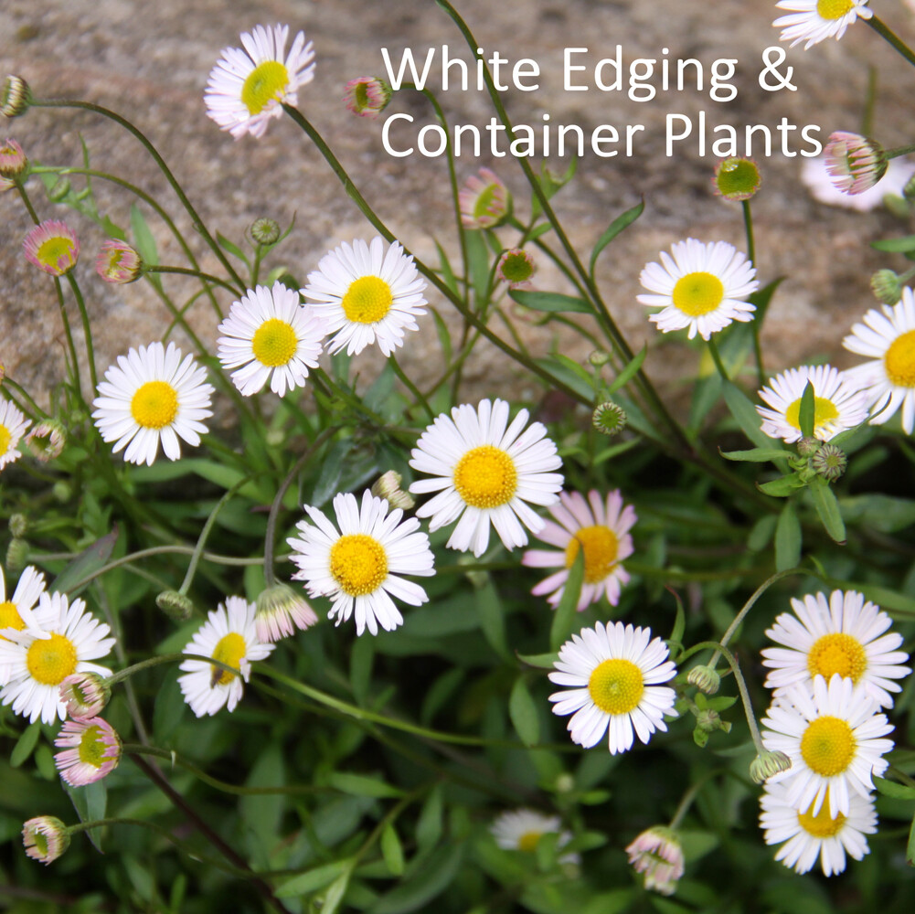 White Edge & Container Plants