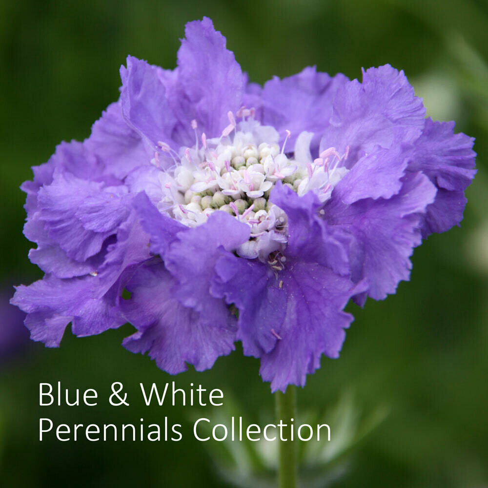 Blue & White Perennials Seed Collection