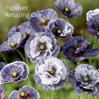 Papaver 'Amazing Grey'