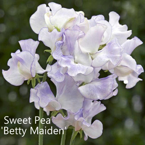 Sweet Pea 'Betty Maiden'
