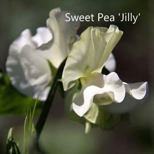 Sweet Pea 'Jilly'