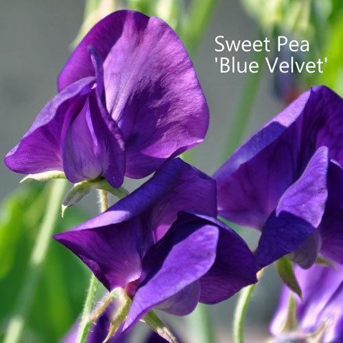 Sweet Pea 'Blue Velvet'