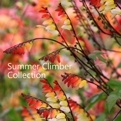 Summer Climber Collection