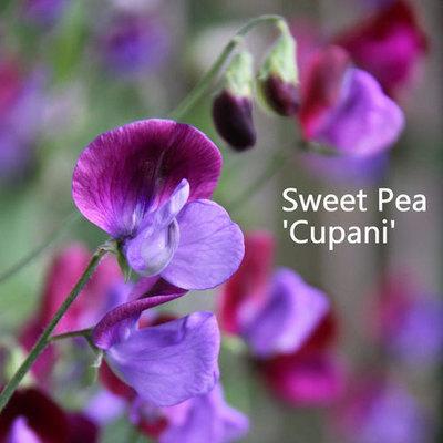 Sweet Pea 'Cupani'