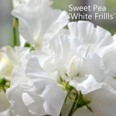 Sweet Pea 'White Frills'