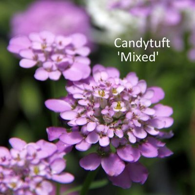 Candytuft Mixed
