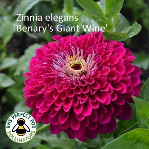 Zinnia 'Benary's Giant Wine'