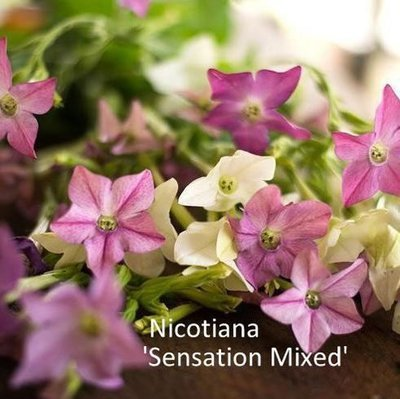 Nicotiana alata 'Sensation Mixed'