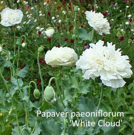 Papaver paeoniflorum 'White Cloud'