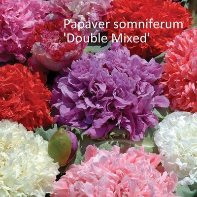 Papaver somniferum 'Double Mixed'