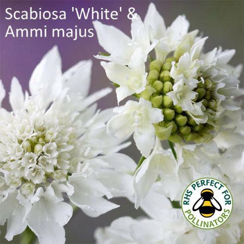 Ammi majus & Scabiosa White
