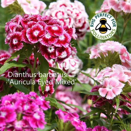 Dianthus barbatus 'Auricula Eyed'