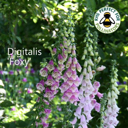 Digitalis 'Foxy'