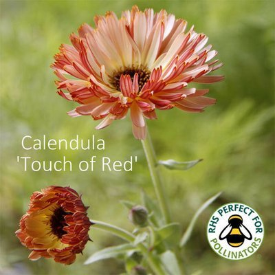Calendula officinalis Touch of Red Mixed