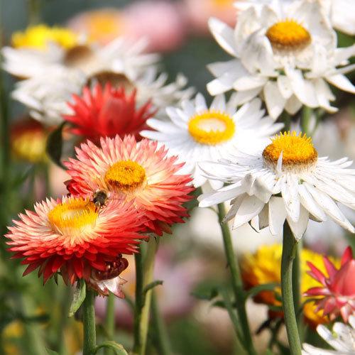 Helichrysum 'King Size Mix'
