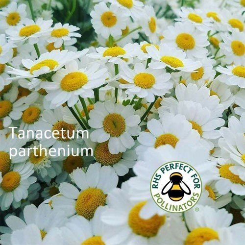 Tanacetum parthenium