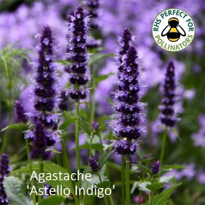 Agastache 'Astello Indigo'