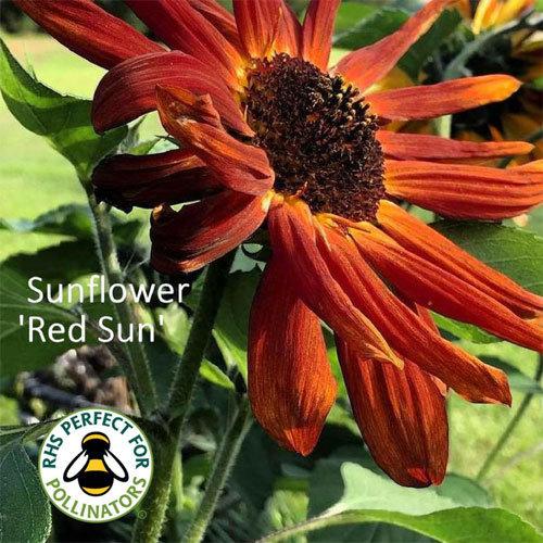 Helianthus 'Red Sun'