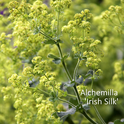 Alchemilla 'Irish Silk'