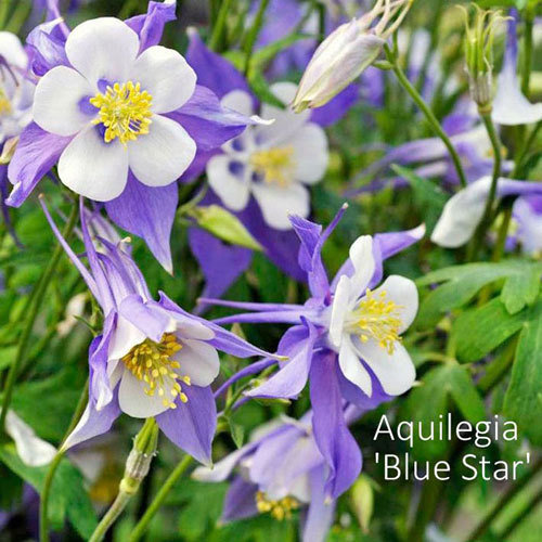Aquilegia 'Blue Star'