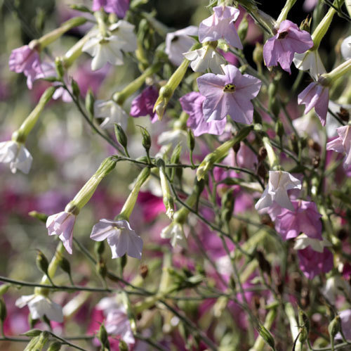 Nicotiana alata 'Whisper Mixed'
