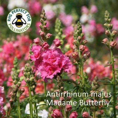 Antirrhinum majus Madame Butterfly