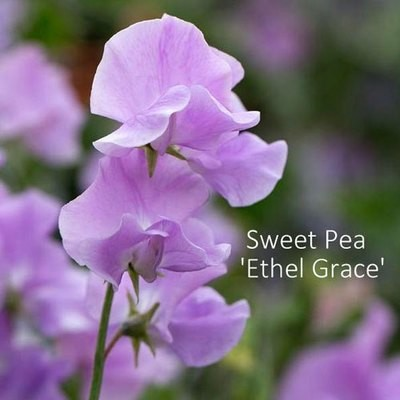 Sweet Pea 'Ethel Grace'